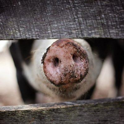 Фейк: Украина обеспечивается свининой из России